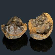 Flexicalymene trilobita