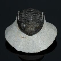 Hollardrops trilobita
